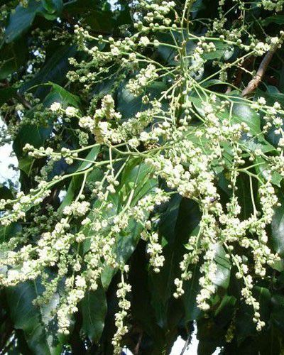 Sementes de Pau D'Alho - Gallesia integrifolia - 250g