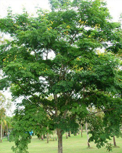Sementes de Pau Ferro - Caesalpínia ferrea - 100g