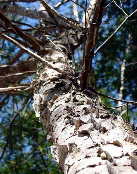 Sementes de Pau Jacaré - Piptadenia gonocantha - 100g