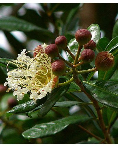 Sementes de Pele de Velho - Ruprechtia exploratricis - 100g