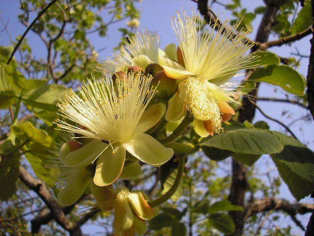 Sementes de Pequi - Caryocar brasiliense - 1000g