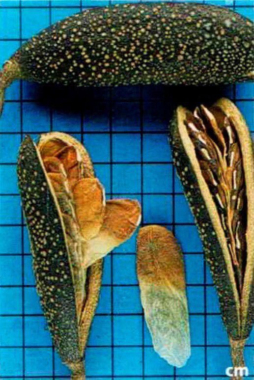 Sementes de Peroba Poca - Aspidosperma cylindrocarpon - 100g