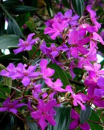 Sementes de Quaresmeira Roxa - Tibouchina granulosa - 50g