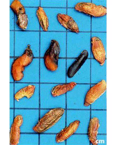 Sementes de Sucupira Amarela - Sweetia fruticosa - 250g