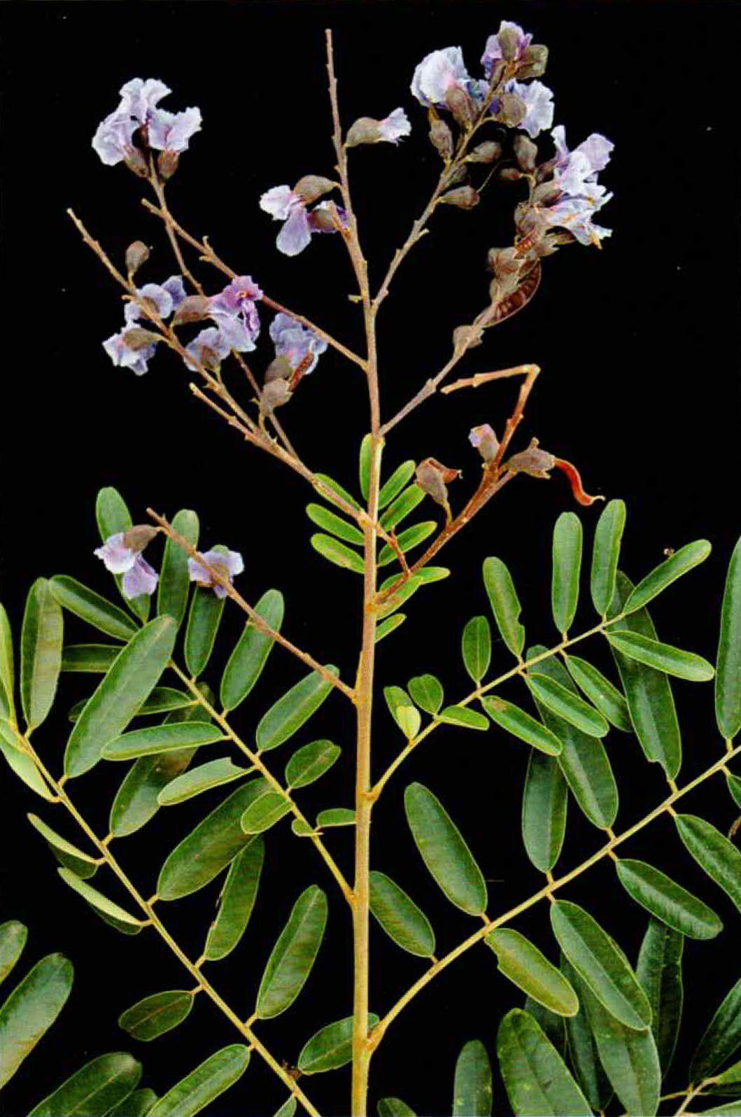 Sementes de Sucupira Preta - Bowdichia virgilioides