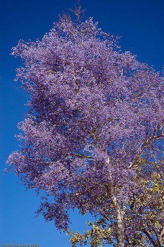 Sementes de Sucupira Preta - Bowdichia virgilioides - 250g