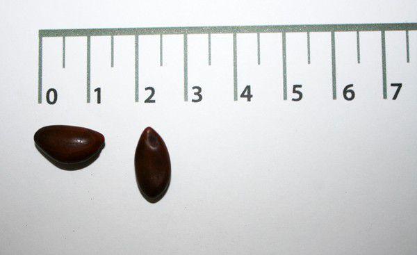 Sementes de Timburi - Enterolobium contortisiliquum - 250g