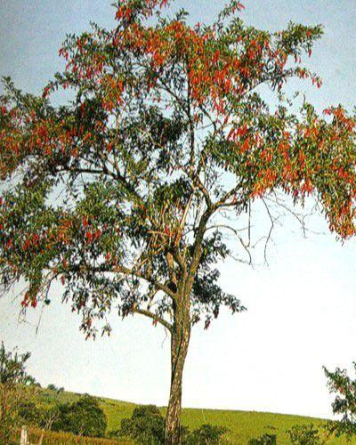 Sementes de Tucaneiro - Citharexlum myrianthum - 250g