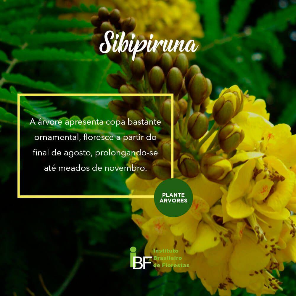 Muda de Sibipiruna - Caesalpinia pluviosa