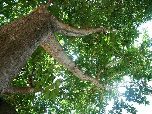 Muda de Sombreiro - Clitoria fairchildiana
