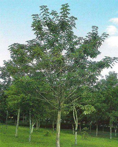 Tarumã - Vitex montevidensis