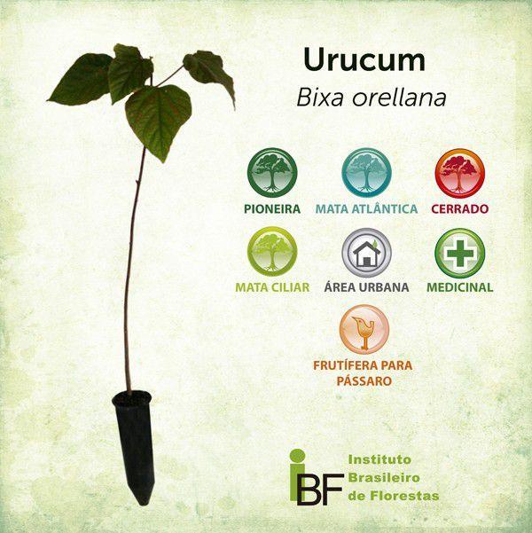 Muda de Urucum - Bixa orellana