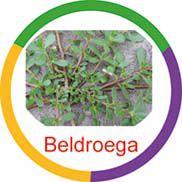 Beldroega  - Divertimente