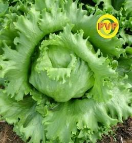 Semente De Alface Gloriosa 10g - Tsv