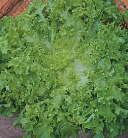 SEMENTE DE ALFACE MIMOSA GREEN SALAD BOWL 100G - FELTRIN