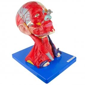 Anatomia da Cabeça, Cérebro E Musculatura, em 10 Partes