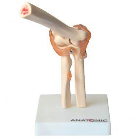 Articulação do Cotovelo com Ligamentos
