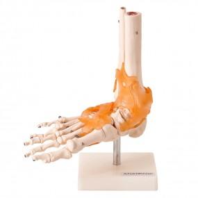 Articulação do Pé com Ligamentos