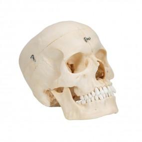 Bonelike Crânio ? Estruturas Ósseas do Crânio, 6 Peças