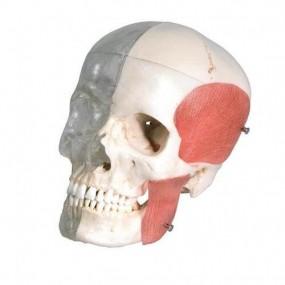 Bonelike Crânio ? Versão Combinada Transparente/ósseo, 8 Peças