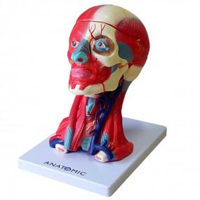 cabeça, Cérebro E Musculatura, em 10 Partes