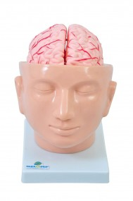 Cabeça com Cérebro em 9 Partes