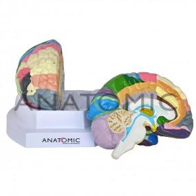 Cérebro Colorido com Região Funcional em 2 Partes