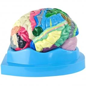 Cérebro, com Região Funcional do Córtex, em 2 Partes