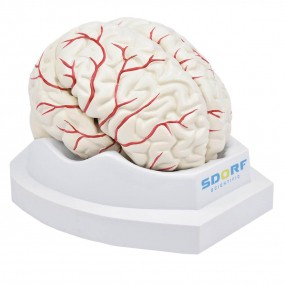 Cérebro em Tamanho Natural em 8 Partes c/ Artérias