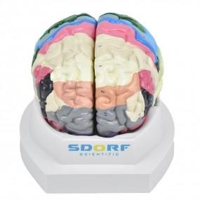 Cérebro Neuro-anatômico Colorido em 2 Partes