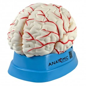 Cérebro Tamanho Natural, em 8 Partes