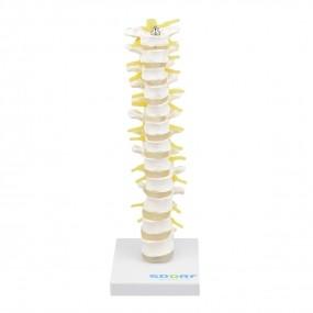 Coluna Torácica