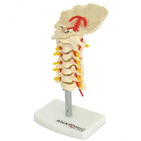 Coluna Vertebral Cervical