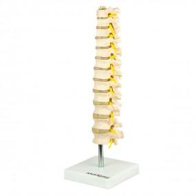 Coluna Vertebral Torácica