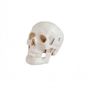 Crânio Adulto Humano Tamanho Natural