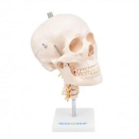 Crânio c/ Mandíbula Móvel E Coluna Cervical