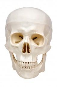 Crânio c/ Mandíbula Móvel em 3 Partes