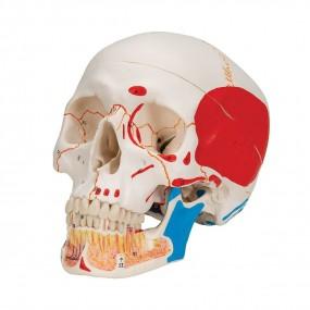 Crânio Clássico com Mandíbula Aberta, Colorido, 3 Peças