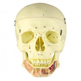 Crânio Clássico, com Mandíbula Aberta, em 2 Partes