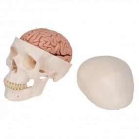 Crânio com Encéfalo, 8 Peças