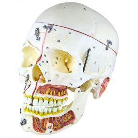 Crânio com Vasos Sanguíneos E Nervos, Numerado, em 10 Partes