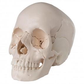 Crânio de Encaixe 3b Scientific - Versão Anatômica, em 22 Partes