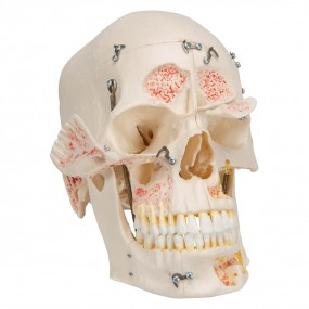 Crânio de Luxo para Fins de Demonstração, 10 Peças