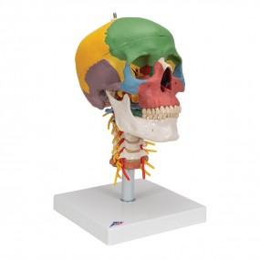 Crânio Didático Montado sobre a Coluna Cervical, 4 Peças