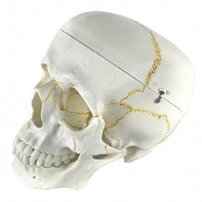 Crânio Humano 2 Partes