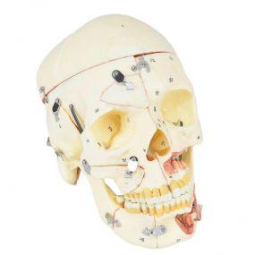 Crânio Humano Adulto c/ Mandíbula, Vasos E Nervos em 10 Partes