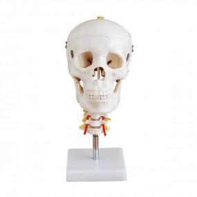 Crânio Humano Adulto com Coluna Cervical