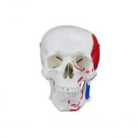 Crânio Humano c/ Mandíbula Móvel c/ Origens E Inserções Musculares
