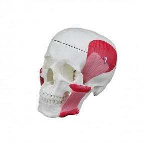 Crânio Humano c/ Mandíbula Móvel E Músculos Da Mastigação