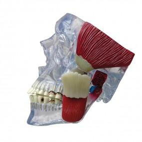 Crânio Modelo de Atm